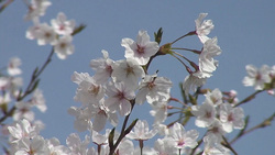 004 cherry blossoms (stock movie HD material)